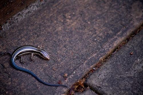 カナヘビ 冬眠 準備