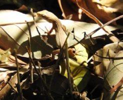 カナヘビ 冬眠 時期 場所