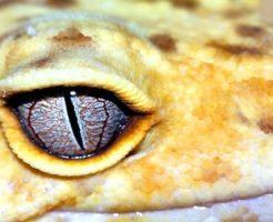 ヒョウモントカゲモドキ 卵 管理 温度 湿度